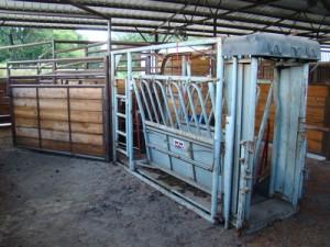 Cattle-Shoot-2